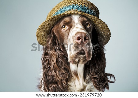 English springer spaniel with hat on - stock photo