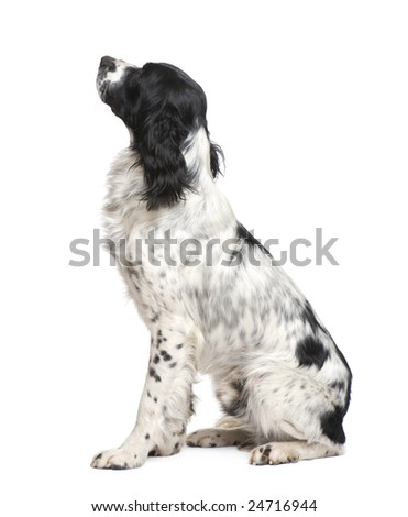 English Springer Spaniel (1 year) in front of a white background - stock photo