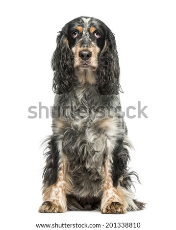 English Springer Spaniel (7 years old) - stock photo