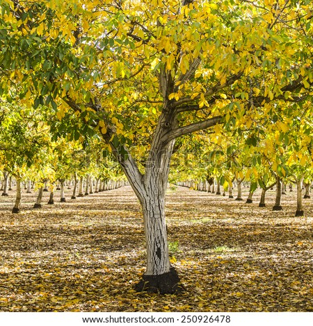English walnut, Juglans regia, orchard in the early autumn fall colors, northern California - stock photo