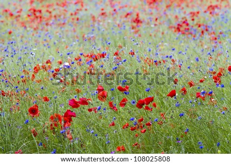 English wildflower meadow with poppies and cornflowers - stock photo