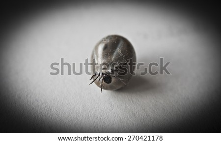 Engorged of blood Castor bean tick, Ixodes ricinus, a species of hard-bodied tick on a white background.  - stock photo