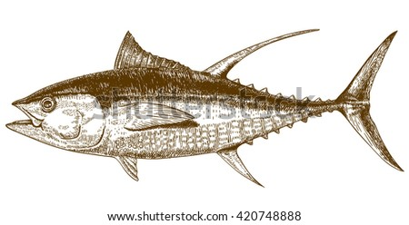 engraving illustration of highly detailed hand drawn tuna isolated on white background - stock photo