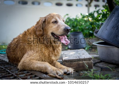 Enjoy and smiling Golden Retriever.
