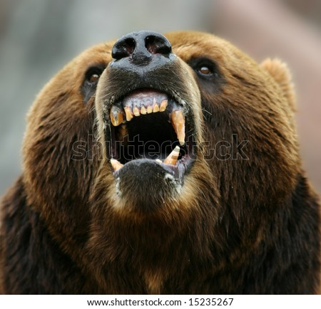 Enraged brown bear - stock photo
