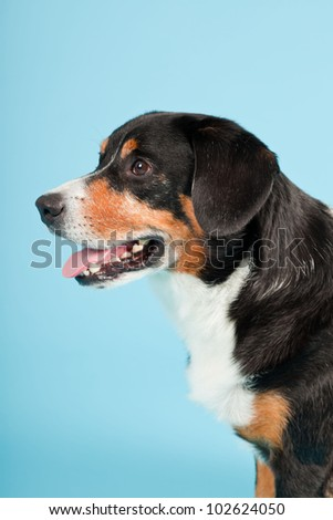 Entlebucher Mountain Dog isolated on light blue background. Studio shot.