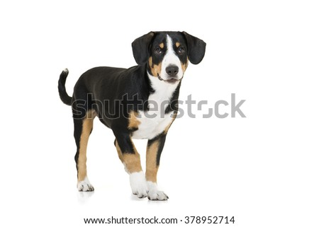 Entlebucher Mountain Dog on a white background in the studio .