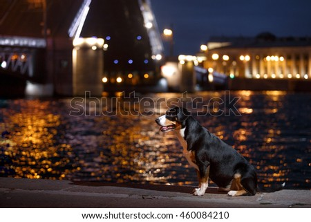 Entlebucher Mountain Dog, Sennenhund walks on a night city summer
