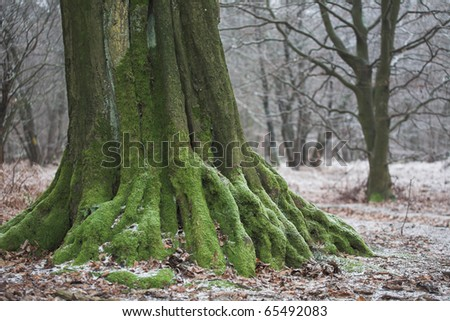 entrenched root of an very old tree - stock photo