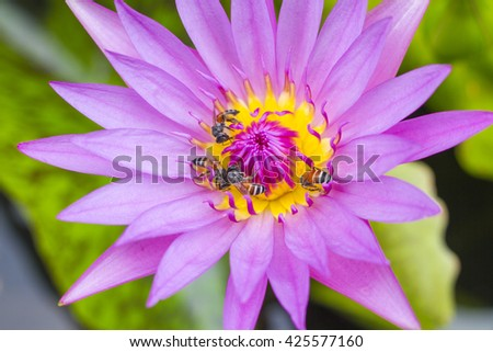 Environment bees in lotus purple close-up, - stock photo