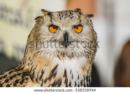 environment, eagle owl, detail of head, lovely plumage - stock photo