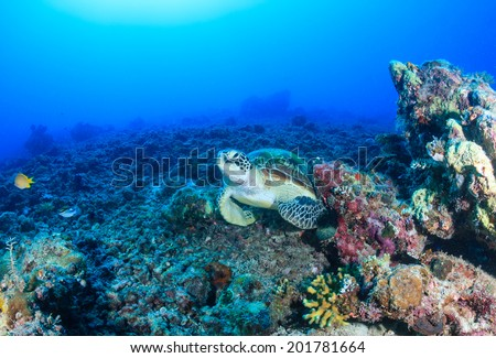 Environmental Damage - a Green Turtle rests on a barren, destroyed coral reef