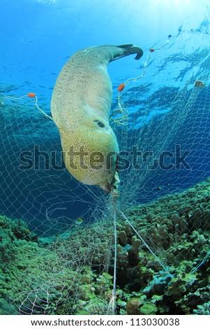 Environmental Destruction - an illegal poacher's fishing net kills a moray eel - stock photo