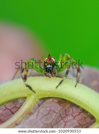 Epeus green spider on leaf