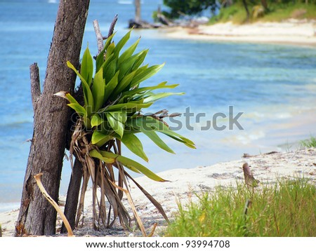 Epiphyte Bromeliad on the beach with the Caribbean sea in background