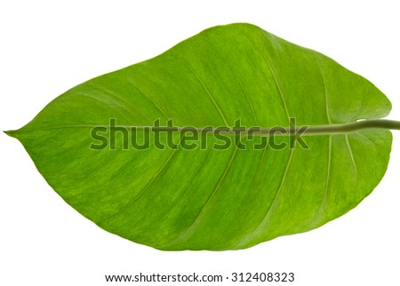 Epipremnum Aureum (scientific name), Marble Queen or Devil's Ivy, isolated on white background and clipping path