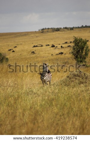 Equus quagga - Zebra standing in the savannah in Masai Mara National Park, Kenya, with wildebeests and buffalos on the background. - stock photo