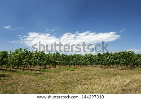 Erbusco (Bs),Franciacorta,Italy, a vineyard in June