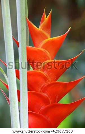 Erect heliconia crab lobster claw tropical flower - stock photo