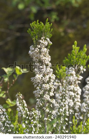 Erica arborea (tree heath) is a species of flowering plant (angiosperms) in the heather family, Ericaceae.
