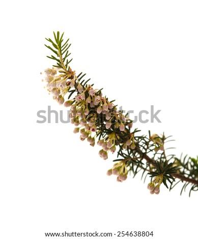Erica arborea, tree heath, isolated on white background - stock photo