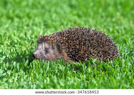 Erinaceus europaeus. A hedgehog in grass thickets