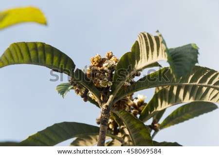 Eriobotrya japonica in Guatemala, Loquat Eriobotrya Japonica tree flower. Floral backgrounds - stock photo