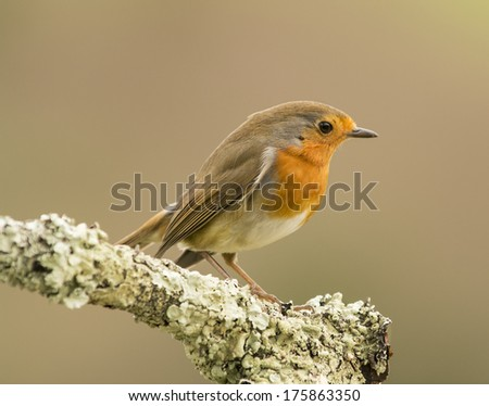 Erithacus rubecula in the forest