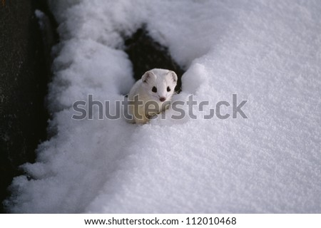 Ermine peeking through snow - stock photo