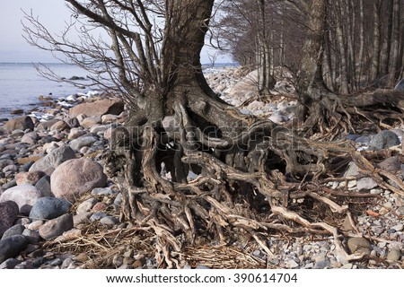 Erosion: waves have washed away soil from around tree roots at seaside. Photographed at early spring at North coast of Estonia at the Baltic Sea, Europe.  - stock photo