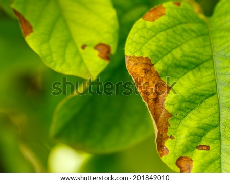 Erwinia amylovora bacteria atacks fruit trees ( apples , pears ) leaves. Disease of fruit trees.  - stock photo