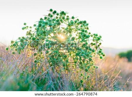 Eryngium campestre (field eryngo) flower thorny bush on sunset - stock photo