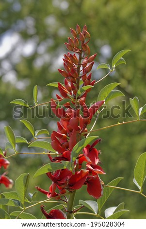 Erythrina crista-galli, Cockspur Coral tree, Naked