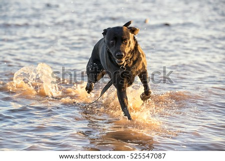 Escaped dog runs free in the sea with his lead splashing in the water