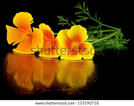 Eschscholzia californica flower on a black background with water drops       - stock photo