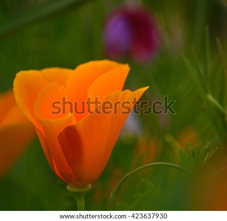 Eschscholzia californica isolated - stock photo