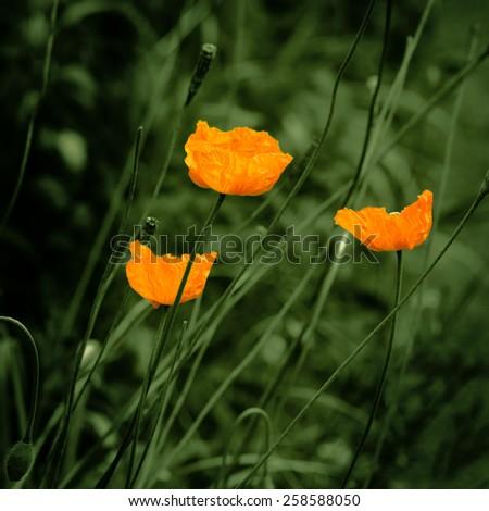Eschscholzia orange poppy flowers  vintage feel - stock photo