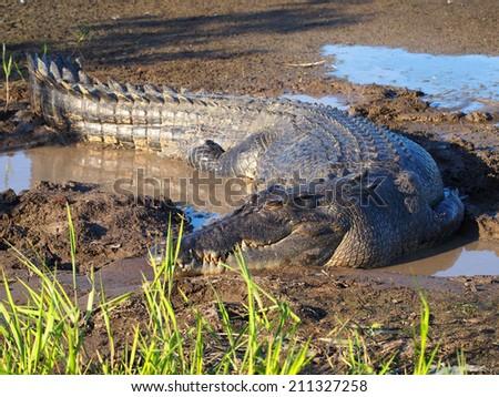 Estuarine saltwater Crocodile, Crocodylus porosus - stock photo