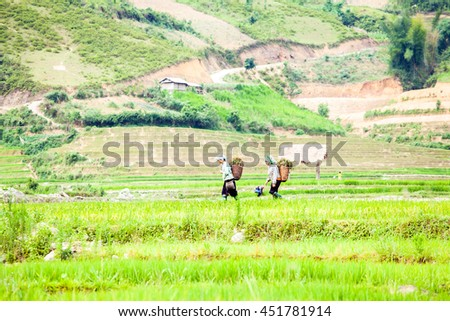 Ethnic minority farmer walking on the Terraced filed in harvest season( yellow season ) at Mu Cang Chai, Yen Bai Province, Northern Vietnam  on May 5, 2016