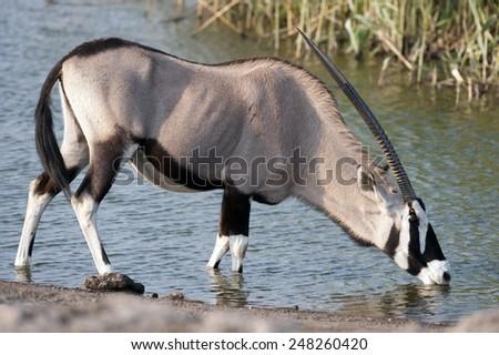 Etosha National Park Namibia, Africa wildlife oryx - stock photo