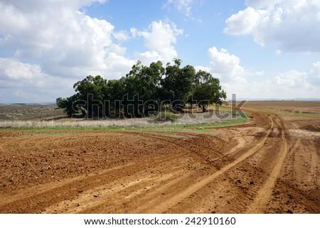 Eucaliptus grove and farmland in rural Israel                                - stock photo