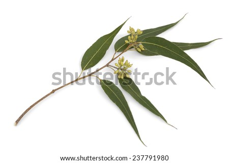 Eucalyptus branch and leaves on white background - stock photo