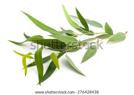 eucalyptus branch isolated on a white background - stock photo