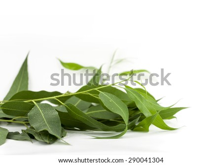 eucalyptus branch isolated on white background, drop water. - stock photo
