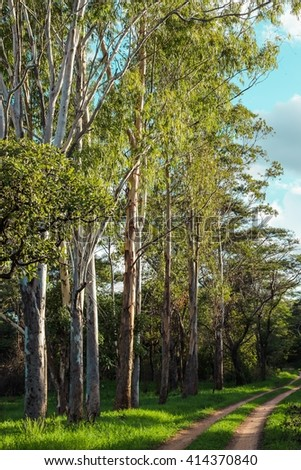 Eucalyptus bush tracks - stock photo