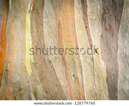 Eucalyptus deglupta tree bark texture - stock photo