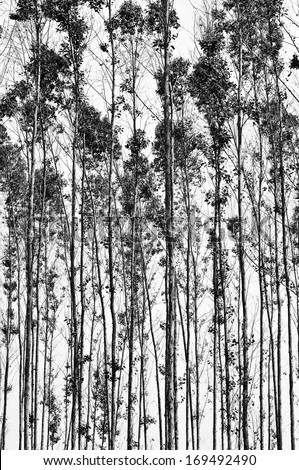 Eucalyptus forest in Thailand, Black and white.