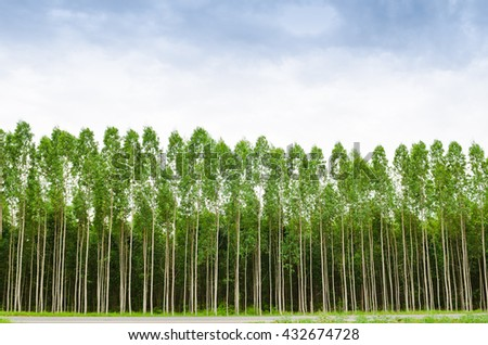 Eucalyptus forest in Thailand, plats for paper industry - stock photo