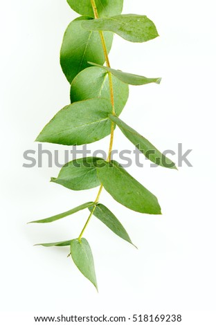 eucalyptus isolated on white