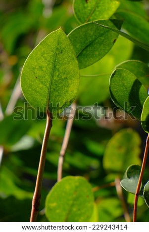 Eucalyptus leaf close up - stock photo